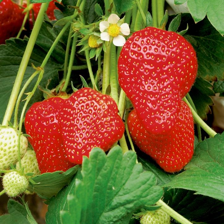 Elsanta-strawberry